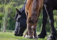 Foal with mom eating grass stock photos