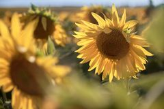 Sunflowers in the field. bright summer sunny day. stock photo