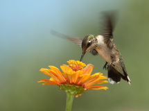 Summer Hummer. A hummingbird of relatively modest appearance, the Black-chinned Hummingbird is common throughout much of the western United States Stock Photography