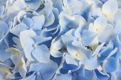 Summer hydrangea floral background Stock Photography
