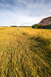 Summer idyl 2. Young women with straw hat standing in a wheat field in summer, old barn nearby stock photography