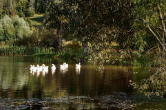 Summer idyllic landscape with ducks. And pond stock photography