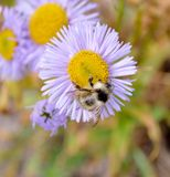 Summer. The Image of a bee on a flower Stock Images
