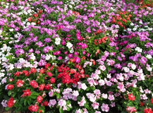Summer Impatien Flowers in July Royalty Free Stock Images