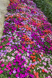 Summer Impatiens Royalty Free Stock Image