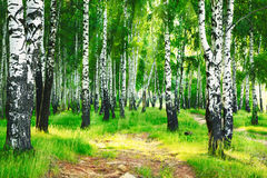 Free Summer In Birch Forest Royalty Free Stock Photos - 79053548