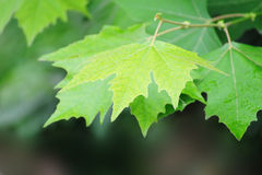 Summer indus leaves background Royalty Free Stock Photography