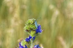 Summer insect macro photo. Emerald beetle on wild blue and violet flower Stock Images