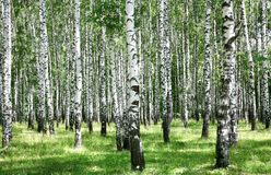 Summer july view of birch grove in sunlight Stock Photo