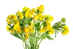 Summer June  forest uncultivated  yellow flowers with leaves. Isolated on white studio macro shot Royalty Free Stock Photos