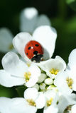 Summer ladybird Stock Images