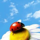 Summer ladybug Stock Image