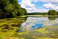 Summer lake. Algae on the small lake Royalty Free Stock Image