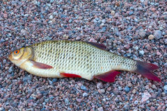Summer lake fishing Rudd fish Royalty Free Stock Photos