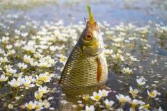 Summer lake fishing Rudd fish Royalty Free Stock Images