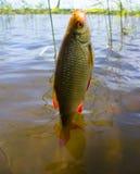Summer lake fishing Rudd fish Stock Photography