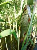 Summer lake fishing Rudd fish Stock Photos