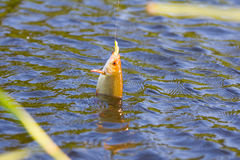Summer lake fishing Rudd fish Stock Image