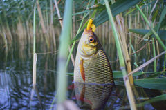 Summer lake fishing Rudd fish Royalty Free Stock Image