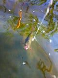 Summer lake fishing underwater catching the redeye Stock Photo