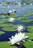 Summer lake with water-lily flowers. On blue water Stock Images