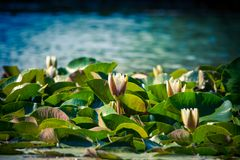 Summer Lake with Water Lily flowers. Summer lake with water-lily flowers on blue water Royalty Free Stock Photography