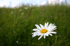 Summer landscape. Summers landscape. Daisy close-up. Focus on the daisy royalty free stock photo