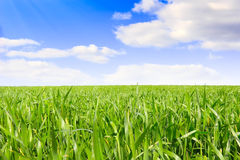 Summer landscape. Green grass, the blue sky and white clouds royalty free stock image