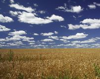 Summer landscape. Clouds and gold field royalty free stock photography