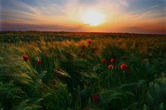 Summer landscape. Sunset in a field of barley, with poppies Stock Photos