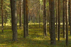 Summer landscape. With pine forest. Idilic image royalty free stock photo