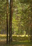 Summer landscape. With pine forest. Idilic image royalty free stock photos