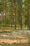 Summer landscape. With pine forest. Idilic image stock photo