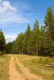 Summer landscape. Pine pine forest in the summer. A dirt road going through wood royalty free stock image