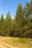 Summer landscape. Pine pine forest in the summer. A dirt road going through wood stock photos