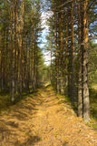 Summer landscape. Pine pine forest in the summer. Equal cutting down leaving afar. Effect of prospect stock images