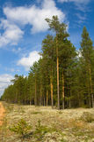 Summer landscape. With pine forest. Idyllic image.Effect of prospect royalty free stock image