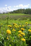 Summer landscape. Focus on dandelions in front Royalty Free Stock Photo