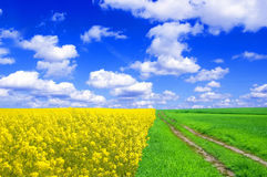 Summer landscape. Picture of green and oilseed rape on field with blue sky Stock Photos