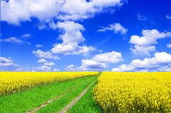 Summer landscape. Picture of green road beetwen oilseed rape on field with blue sky Stock Photo
