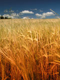 Summer landscape. Of grain meadow Stock Image