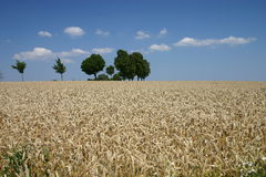 Summer landscape. With cornfield and trees Stock Photography