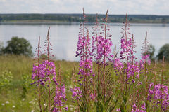 Summer landscape. With pink wild flowers royalty free stock photos