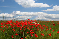 Summer Landscape. Landscape with poppy-flowers and clouds Stock Photography