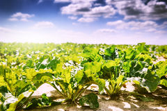 Summer landscape. Agricultural field with sugar beet Royalty Free Stock Image