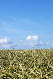 Summer landscape with an agricultural  field of wheat and clouds Stock Image
