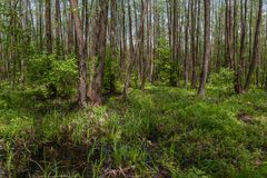 Landscape with alder forest Royalty Free Stock Photography