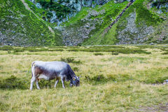 Summer landscape in the Alps with cow grazing. On fresh green mountain pastures stock photo