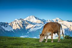 Summer landscape in the Alps with cow grazing Stock Image