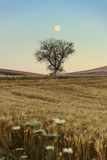 SUMMER LANDSCAPE.Between Apulia and Basilicata:full moon rising over wheat field with solitary tree before dawn. ITALY Stock Photo